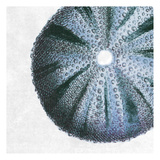 Urchin Shell 3 Print by Sheldon Lewis