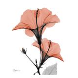 Soft Hibiscus Posters by Albert Koetsier