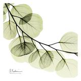 Mint Eucalyptus 2 Poster von Albert Koetsier