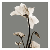 Gray Luster Cyclamen Prints by Albert Koetsier
