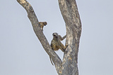 An Adult Baboon with its Young in a Tree Photographic Print by Beverly Joubert