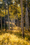 Aspen Trees in Edwards, Colorado Photographic Print by Ben Horton