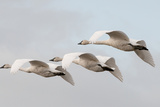 A Trio of Trumpeter Swans, Cygnus Buccinator, in Flight Photographic Print by Nicole Duplaix