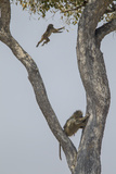 An Adult Baboons Watching at its Young Jumping from Branch to Branch on Tree Photographic Print by Beverly Joubert