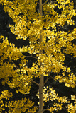 Fall Colors of Aspen Trees in the East Fork of the Little Colorado River in Arizona Photographic Print by Bill Hatcher