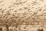 A Flock of Ducks in Flight Photographic Print by Nicole Duplaix