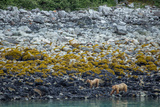 A Coastal Brown Bear Female and Cub Forage for Mussels on the Shoreline Photographic Print by Erika Skogg