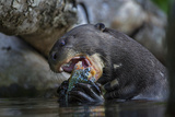The Giant Otter Grows Up to Six Feet Long and Eats Up to Eight Pounds of Fish a Day Fotografisk tryk af Charlie Hamilton James