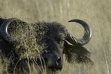 Water Buffalo, Upper Vumbura Plains, Botswana Photographic Print by Anne Keiser