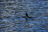 Killer Whale or Orca, Orcinus Orca, in Gwaii Haanas National Park Photographic Print by Macduff Everton
