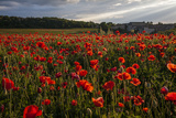 A Field of Red Poppies in Monteriggioni, Italy Photographic Print by Matt Propert