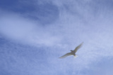 An Arctic Tern in Flight Above Flatey Island, Breidafjord Photographic Print by Michael Melford