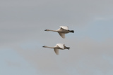 A Pair of Trumpeter Swans, Cygnus Buccinator, in Flight Photographic Print by Nicole Duplaix