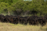 A Herd of Buffalo, Syncerus Caffer, Running Through the Bush Photographic Print by Beverly Joubert