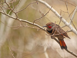 A Red-Shafted Flicker, Colaptes Auratus, Near Bozeman, Montana Photographic Print by Gordon Wiltsie