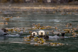 Sea Otters, Enhydra Lutris, Float Wrapped in Kelp Photographic Print by Erika Skogg