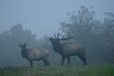 Elk in Morning Fog at Tennessee Wildlife Resources Agency, North Cumberland Photographic Print by Karen Kasmauski