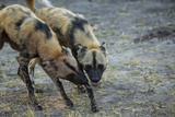Two African Wild Dog, Lycaon Pictus, Fight and Spar with Each Other Photographic Print by Beverly Joubert