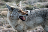 A Coyote, Canis Latrans, in Yellowstone National Park Photographic Print by Raul Touzon