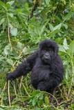 Portrait of a Mountain Gorilla, Gorilla Beringei Beringei, in Foliage Photographic Print by Tom Murphy