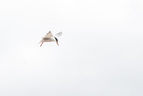 Common Tern, Sterna Hirundo, in Flight Photographic Print by Tom Murphy
