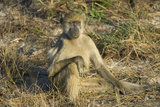A Chacma Baboon, Zambia Photographic Print by Anne Keiser