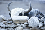 Yak Behind a Stone Wall in the Khumbu Valley, Nepal Photographic Print by John Burcham