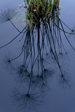 Reflection of Dandelions on Water Photographic Print by Tyrone Turner