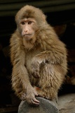 A Macaque, in Emeishan National Park Photographic Print by Tyrone Turner
