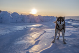 A Portrait of Sled Dog on the Sea Ice Photographic Print by Cristina Mittermeier