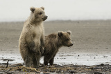 Two Brown Bear Cubs at Silver Salmon Creek Lodge in Lake Clark National Park Photographic Print by Charles Smith