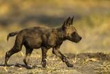 An African Wild Dog Pup, Lycaon Pictus Fotografisk trykk av Beverly Joubert
