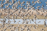 A Large Flock of Dunlin Birds, Calidris Alpina, in Flight Photographic Print by Nicole Duplaix