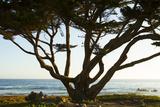 Cypress Tree in Monterey Bay, California Photographic Print by John Burcham