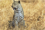 A Leopard Watches for Prey in South Africa's Sabi Sand Game Reserve Photographic Print by Steve Winter