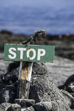 A Marine Iguana and Small Lava Lizard Rest on Top of a Warning Sign Photographic Print by Jad Davenport