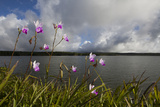 Bamboo Orchids, Arundina Graminifolia, Growing Along the Side of a Reservoir Photographic Print by Gabby Salazar