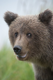 Close-Up of Brown Bear, Ursus Arctos, in Lake Clark National Park and Preserve Photographic Print by Charles Smith
