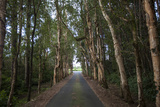 Tree-Lined Road to Alexandria Falls Lookout Photographic Print by Gabby Salazar