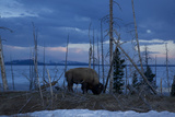 A Bison at Mary's Bay in Yellowstone National Park Photographic Print by Michael Nichols