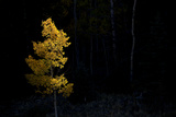 Aspen Tree at Sunset in Colorado Photographic Print by John Burcham