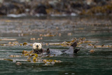Sea Otter, Enhydra Lutris, Floats Wrapped Up in a Kelp Photographic Print by Erika Skogg