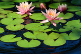 Water Lilies Flowering in a Pond on Cape Cod Photographic Print by Darlyne Murawski