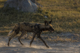 An African Wild Dog, Lycaon Pictus, Walking on the Dusty and Dry Road Photographic Print by Beverly Joubert