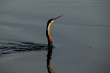 An African Darter, Anhinga Rufa, Swimming Through the Water with the Sun on its Face Photographic Print by Beverly Joubert