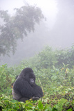 Mountain Gorilla, Gorilla Beringei Beringei, Resting in Misty Forest Photographic Print by Tom Murphy