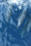 Four Dolphins Swimming in the Clear Blue Waters of the Pacific Ocean Photographic Print by Jonathan Kingston