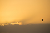 A Caspian Tern, Sterna Caspia, in Flight at Sunrise Photographic Print by Michael Melford