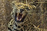 A Leopard Yawns in Sabi Sand Game Reserve Photographic Print by Steve Winter