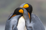 Two King Penguin, Aptenodytes Patagonicus, Embracing Fotografisk tryk af Tom Murphy